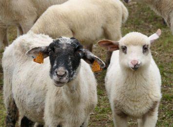 Rozsod - czyli owce wracają z hal