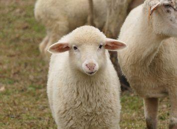 Wisła: Owce wyjdą na hale. Pasterska impreza w niedzielę