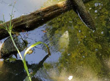 Śnięte ryby w Jastrzębiu