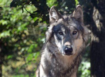 Martwy wilk znaleziony w Brennej