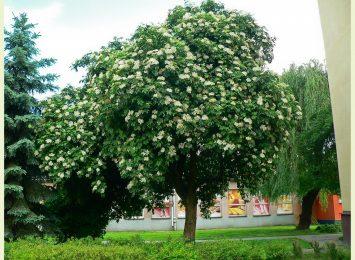 Polski kandydat do tytułu Europejskiego Drzewa Roku. Nie z regionu, ale piękny!