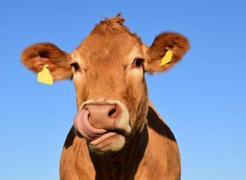 Pawłowice: Krowa wybrała wolność