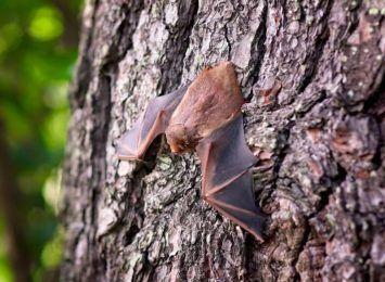 Uwaga na nietoperze, jesienią są jeszcze aktywne. Co robić gdy nietoperz wpadnie do mieszkania?