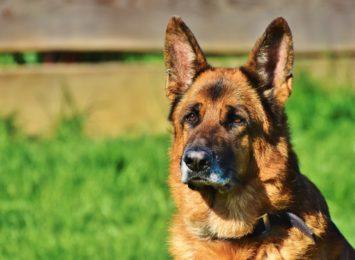 Rybnik: Co ze szczepieniem psów w Chwałęcicach?
