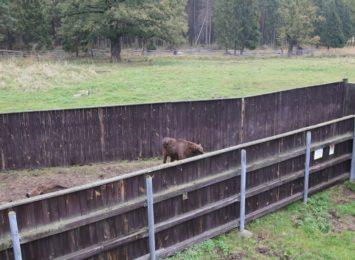 Trzy żubry opuściły teren rezerwatu pod Pszczyną. Może je widziałeś?