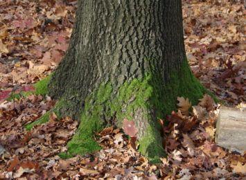 Zagłosuj na Drzewo Roku 2021. W stawce Joshua Tree z Gliwic oraz Magiczne Drzewo na Cieńkowie