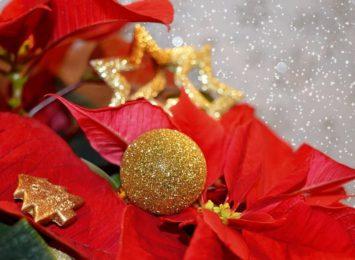 Najpopularniejsze doniczkowe kwiaty na Boże Narodzenie. Jak o nie dbać?