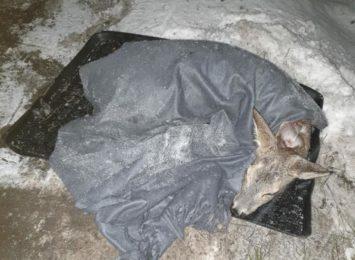 Leśne Pogotowie. Śnieżna, mroźna zima źle wpływa na kondycję zwierząt