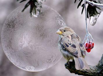 Święta Agnieszka wypuszcza skowronka z mieszka. Czy w połowie stycznia słyszymy już śpiew ptaków?