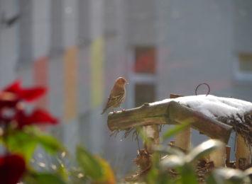 Zimowe Ptakoliczenie z Dystansu. Ptaki na parapecie, w ogródku, w parku