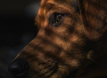 """Fundacja """"Jestem głosem tych, co nie mówią"""" chce zaopiekować się zgwałconym psem"""