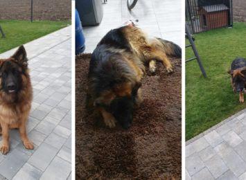 Rydułtowy: Ktoś próbował poderżnąć psu gardło? Właściciele obawiają się złodziei