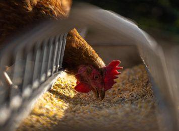 Dramat hodowców drobiu. Ogniska ptasiej grypy w województwie śląskim