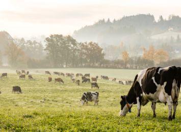 Krowa zapadła się na podmokłej łące. Wezwano strażaków