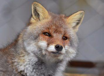 Małe lisy wciąż są w MOK-u w Jastrzębiu. Zostaną odłowione dziś lub jutro