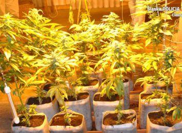 Zlikwidowali plantację marihuany w gminie Ustroń