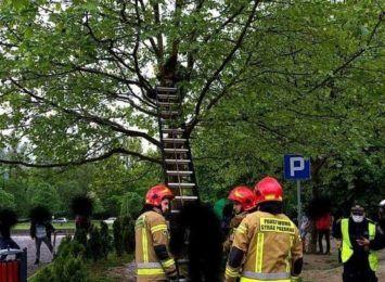 Weszli na drzewo, nie mogli zejść. Musiała interweniować straż pożarna