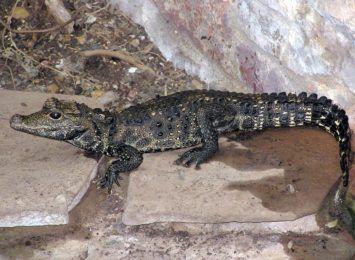 Krokodyl Mireczek odnaleziony w Ostrawie. Ukrył się w... piwnicy