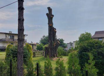 Świerklany: Buk Sobieskiego przestanie być pomnikiem przyrody?