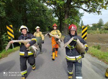 To były nietypowe interwencje. Cieszyńscy strażacy ratowali... kota i łabędzie