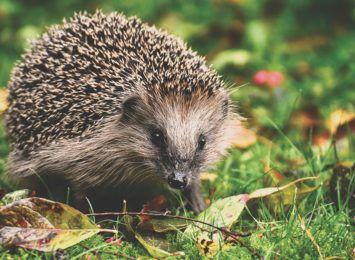 Uwaga na jeże w ogrodach! Sterty liści mogą być ich schronieniem